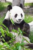 Reuze panda Royalty-vrije Stock Fotografie