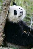 Reuze Panda Stock Afbeeldingen