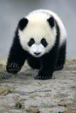 Reuze Panda Stock Foto's