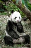 Reuze Panda royalty-vrije stock foto's