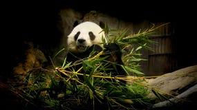 Reuze Panda Stock Foto