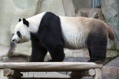Reuze Panda Royalty-vrije Stock Afbeeldingen