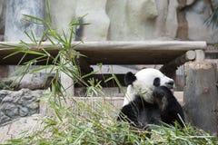 Reuze Panda Stock Fotografie