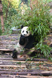 Reuze Panda die Bamboe eet Royalty-vrije Stock Afbeelding