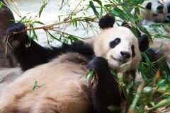 Reuze panda die bamboe eet Royalty-vrije Stock Foto