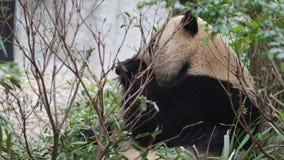 Reuze Panda die Bamboe eet stock video
