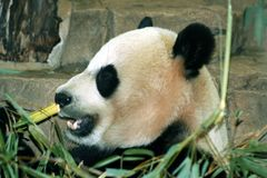 Reuzepanda eating bamboo royalty-vrije stock foto's