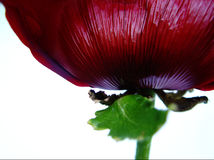 reuze papaver stock afbeeldingen