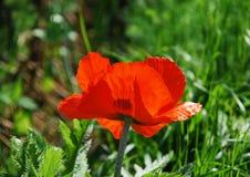 Reuze Rode Papaver Royalty-vrije Stock Afbeeldingen