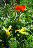 Reuze Rode Papaver en Irissen Royalty-vrije Stock Fotografie