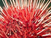 Reuze Rode Zeeëgel royalty-vrije stock afbeelding