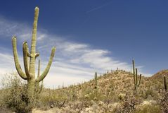 Reuze Saguaro cactusbos Stock Foto
