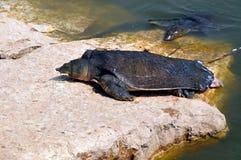Reuze schildpad Royalty-vrije Stock Afbeeldingen