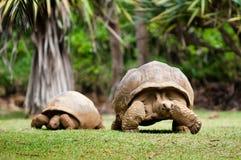 Reuze schildpad Stock Afbeelding