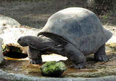 Reuze schildpad Stock Afbeeldingen