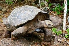 Reuze schildpad, de Eilanden van de Galapagos, Ecuador Royalty-vrije Stock Foto