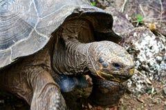 Reuze schildpad, de Eilanden van de Galapagos, Ecuador Stock Afbeeldingen