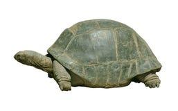 Reuze schildpad met weg stock afbeelding