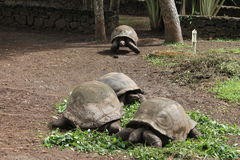 Reuze schildpadden Royalty-vrije Stock Foto's