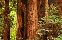 Reuze Sequoia stock foto