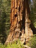 Reuze sequoia, boomstam royalty-vrije stock foto's