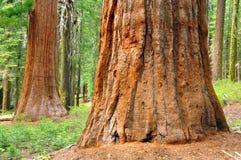 Reuze Sequoia's Stock Afbeeldingen
