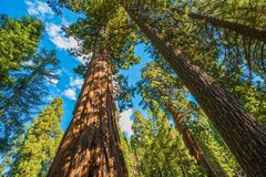 Reuze Sequoia's stock foto