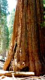 Reuze sequoiaboom in Californië Stock Foto