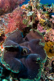 Reuze shell klem Royalty-vrije Stock Foto's