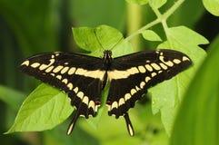 Reuze Swallowtail Papilio cresphontes Stock Foto