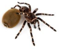 Reuze tarantula Stock Afbeelding