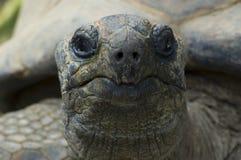 Reuze tortois Stock Foto's