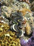 Reuze Tweekleppig schelpdier Ingebed in Koraal Royalty-vrije Stock Afbeeldingen
