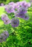 Reuze Ui (Allium Giganteum) stock foto's
