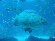 Reuze vissen royalty-vrije stock foto's