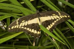 Reuze Vlinder Swallowtail Stock Foto's