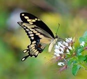 Reuze vlinder Swallowtail (Papilio cresphontes) Royalty-vrije Stock Afbeelding