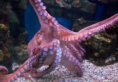 Reuze vreedzame octopus 2 Stock Afbeeldingen