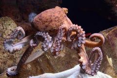Reuze Vreedzame Octopus Stock Foto