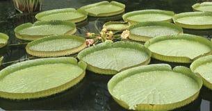 Reuze waterlelie royalty-vrije stock afbeelding