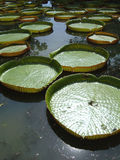Reuze Waterlelies royalty-vrije stock foto