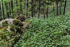 Reuze wild knoflooktapijt dichtbij Galbena-stroom in Transsylvanië, R royalty-vrije stock fotografie