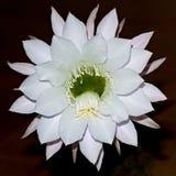 Reuze Witte de Cactusbloem van Nacht Bloeiende Echinopsis royalty-vrije stock foto