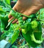 Reuze zijdeachtige organische muncher stock afbeeldingen
