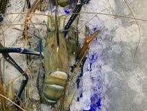 Reuze zoetwatergarnalendeeg op het verpletterde ijs royalty-vrije stock afbeeldingen