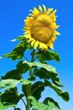 Reuze zonnebloem Stock Foto's