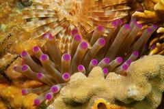 Reuzeanemoon onderwater tussen koraal en worm Stock Afbeeldingen