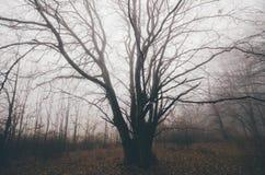 Reuzeboom in achtervolgd donker bos met mist Stock Foto