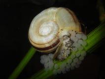Reuzecornuarietis van Marisa van de ramshornslak Stock Afbeelding