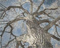Reuzecottonwoodboom in de winter Stock Foto's